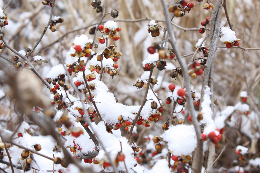 Berries+Snow1