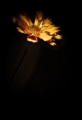 emerging (alan shapiro photography) Tags: flower yellow blossom solo bloom emerging alanshapiro masterphotos ashapiro515 alanshapiroashapiro515 2010alanshapiro alanshapirophotography wwwalanwshapiroblogspotcom 2010alanshapirophotography