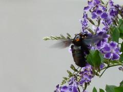 zangado;mamangava??? (iedatopanotti) Tags: abelho mamangaba zango mamangava mangaba mangava mangang bombolini vespaderodeio vespo