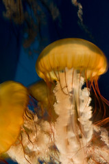 jelly (fbroschart) Tags: aquarium jellies jellyfish tentacles