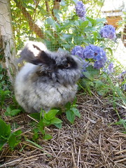 Dash with pretty flowers (ixchelbunny) Tags: bunnies rabbits angora ixchel
