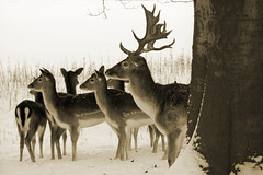 No, we will not look at your camera (gwiwer) Tags: schnee winter snow sepia cologne kln deer pettingzoo tierpark hirsch stadtwald damwild abigfave