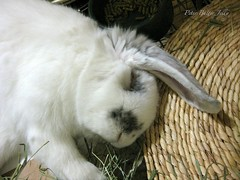 flopped (PeterButterJelly) Tags: sleeping bunny minilop flopped