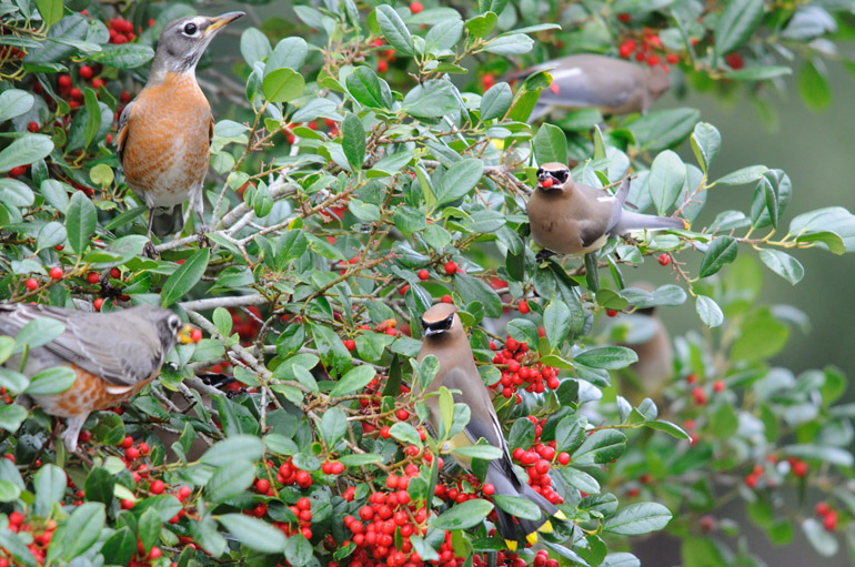 web_waxwingrobins_birds_0028_2545