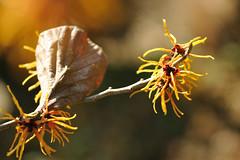 シナマンサク (myu-myu) Tags: flower nature japan nikon bokeh ngc mygarden 庭 hamamelis マンサク hamamelismollis d700 シナマンサク nikkor105mmf28gvrmicro
