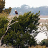 While traveling on SR 24 out of Cedar Key, we spotted this Bald Eagle at a distance.