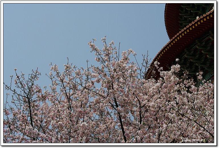 天元宮,櫻花 (31)