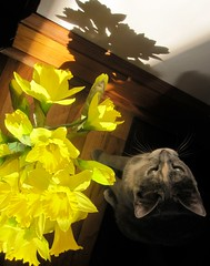 All girls like flowers (NCM3) Tags: morning flowers light shadow yellow cat kitten glow daffodil baseboard artistictreasurechest