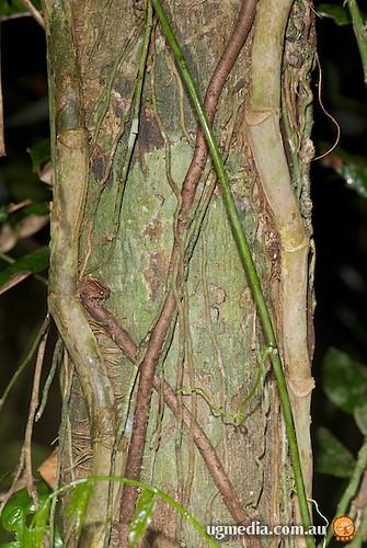 Ornate nurseryfrog (Cophixalus ornatus)