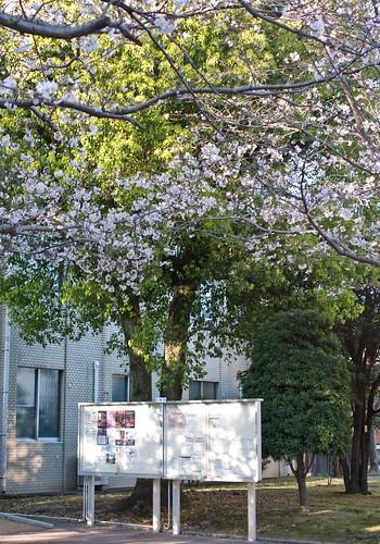 三月的記事-櫻花
