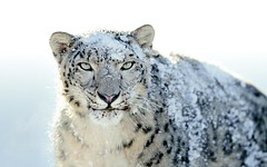 Snow Leopard (original)