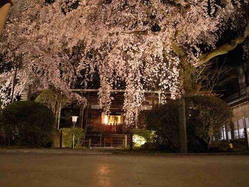 樹齢約200年の枝垂れ桜は感動的!『専称寺』@香芝市