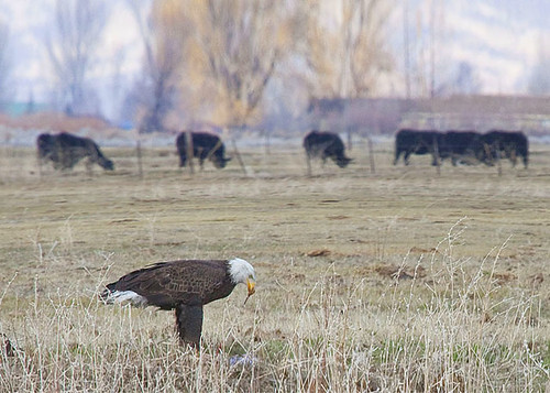 Winning Photo: Eagle in Front Of Cows