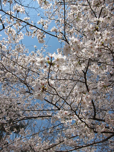 醍醐寺花見満開