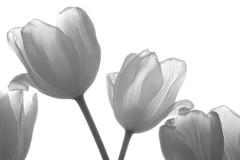 Tulips (Nitekite) Tags: bw canon tulips tulpen colorphotoaward vogonpoetry nitekite