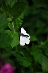 White butterlfy