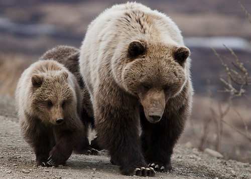 Grizzly Bear- Sow and cubs