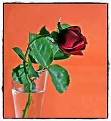 Rosa vermelha / Red Rose (gilxxl) Tags: stilllife portugal sony rosa legacy rosavermelha botãoderosa tondela dslra100 flowersarebeautiful platinumheartaward dragondaggerphoto crazygeniuses exoticimage mygearandme gilbertooliveira gilxxl
