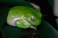 Sleeping Frog (xris74) Tags: green nature europe frog luxembourg frosch grenouille grevenmacher xris74