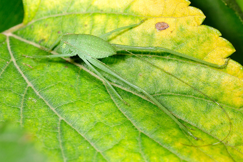 褐背露蟴(若蟲) Ducetia japonica