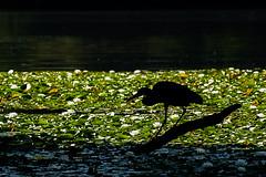 A Virtue (Prestidigitizer) Tags: vancouver waterlily lake pond flower bloom fishing patience stalking pentaxk3 pentaxda50135mm heron bird