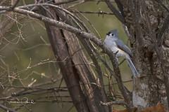 Tufted Titmouse (Stephen J Pollard (Loud Music Lover of Nature)) Tags: baeolophusbicolor carbonerocopetón bird ave tuftedtitmouse nature naturaleza fauna wildlife