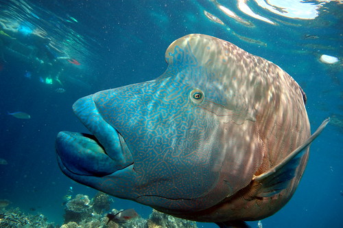 フリー画像| 動物写真| 魚類| ナポレオンフィッシュ| 青色/ブルー|       フリー素材|