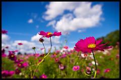 Cosmos field at Bampaku-kinen-koen (Eric Flexyourhead) Tags: park pink flowers bl