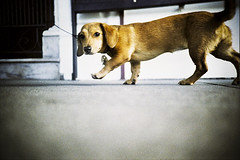What are you looking at? (codooaustin) Tags: california ca camera dog hot eye film 35mm walking lomo lca xpro lomography crossprocessed rat san francisco kevin looking view cross shots low ground slide down things 66 dachshund course iso rats meredith 100 asa leash lc agfa russian six 35 weiner processed chin sixty compact automat lomokev scrapper horizons precisa 80cm a chinscrapper