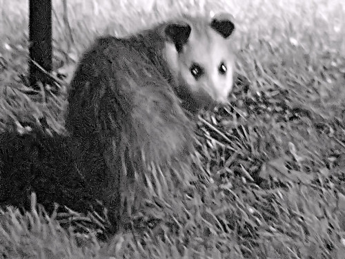 possum night 4