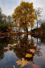 .... (Miss.Informed) Tags: autumn tree fall leaves perth flickrmeet polariser treesubject