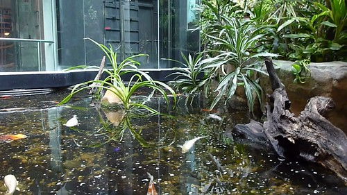 Koi Fish Pond Underwater
