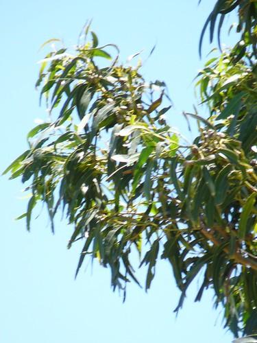 eucalypthus