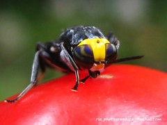 Que duro esta este tomate? (Ria-Photography-ec) Tags: naturaleza insectos macro nature animal monster bug photography design fly ecuador insects diseo mosca monstruos cuenca biodiversity invertebrate biodiversidad criatura criature dpteros invertebrados dptera macrolife megadiversidad
