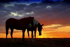 Haraganeando (Eduardo Amorim) Tags: sunset brazil horses horse southamerica field brasil criollo caballo cheval atardecer caballos tramonto sonnenuntergang prdosol campo cavalos pelotas pferde cavalli cavallo cavalo pferd riograndedosul pampa poniente champ anoitecer coucherdesoleil hest hevonen campanha brsil chevaux entardecer crepsculo  amricadosul poente hst  amriquedusud   sudamrica suramrica amricadelsur  sdamerika crioulo caballoscriollos criollos  tropillas costadoce americadelsud tropilhas tropilla  crioulos cavalocrioulo americameridionale caballocriollo auffangen eduardoamorim cavaloscrioulos iayayam yamaiay