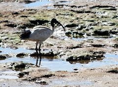 White Ibis (tkmckinn) Tags: birds australia july09