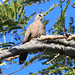 Black-billed Wood-dove