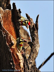 MR. & MRS. (COPPER)SMITH (Rahul Rallan) Tags: birds pair coppersmith megalaimahaemacephala barbets nestinghole