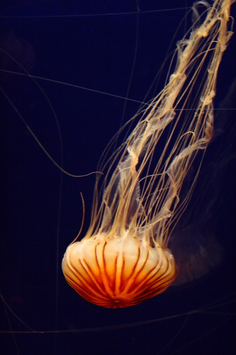 Delicate and beautiful jellyfish in the Osaka Aquarium