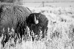 Bison (pperry1966) Tags: grandtetonsnationalpark mormonrow