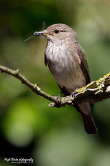 Spotted Flycatcher, Muscicapa striata (Nigel Blake, 12 MILLION...Yay! Many thanks!) Tags: bird nature birds photography wildlife spotted blake nigel ornithology flycatcher striata muscicapa
