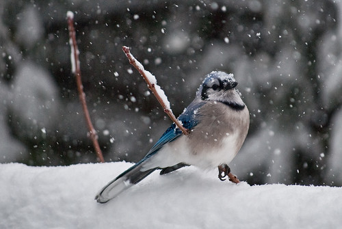 Northern Virginia blue jay