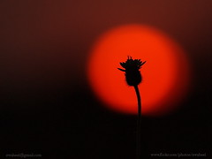 sun flower (swaheel) Tags: sunset wallpaper sun india flower macro art nature beauty silhouette closeup set digital canon eos rebel kiss zoom bokeh bangalore kerala sunflower efs xsi x2 kottakkal karanataka bengaluru 450d malappuram 55250 swaheel 55250is