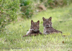 Bobcats (Lynx rufus) - mother and kitten (Paul Hueber) Tags: nature canon mammal feline florida wildlife cbc handheld orangecounty bobcat christmasbirdcount centralflorida lynxrufus musicarver christmasbobcatcount