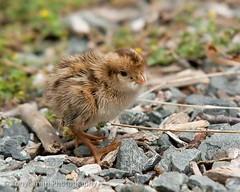 20100124-_DSC0664 (strobenz) Tags: animal chick quail zelandia tonysmith