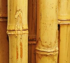 Bambu Lines (Lochin!) Tags: plant abstract yellow bamboo