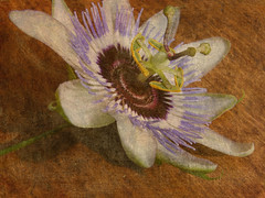 ~ Passion ~ (njk1951) Tags: flower passion knowledge passionflower mankind singleflower onwood mywinners