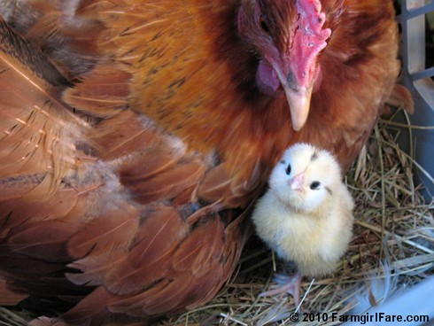 Farmgirl Fare - new baby chick