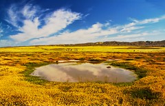 Vernal Pool ~ Carrizo Plain (mikaku) Tags: california flowers vacation woman flower color reflection nature girl beautiful sunshine yellow clouds canon wonder landscape carpet amazing photographer vernal scape wildflower nationalmonument vernalpool carrizoplain carrizo tidytips temblor goldenfields droh blanketed p1f1 mikaku dailyrayofhope canon7d doliveck balifornian baliforniancom michaeldoliveck