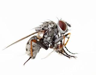 Muscid Fly Eating a Muscid Fly